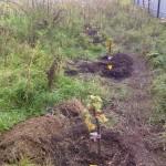 Саженцы деревьев и кустов 2014 года 12