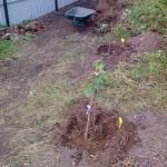 Саженцы деревьев и кустов 2014 года 13