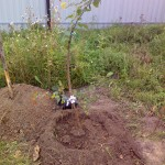 Саженцы деревьев и кустов 2014 года 17