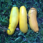 Кабачок Желтоплодный, урожай