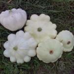 Урожай патиссонов Белый 13