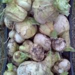 Чудо овощ Репа