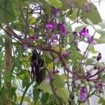 Фасоль Пурпурная королева 2