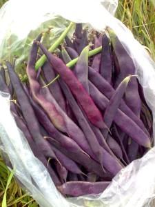 Фасоль Пурпурная королева