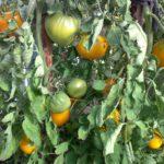 Урожай 2016 созрел 12
