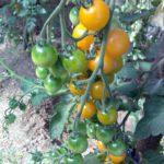 Урожай 2016 созрел 23