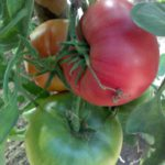 Урожай 2016 созрел 3