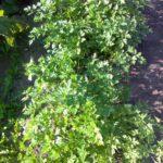 Урожай 2016 созрел 56