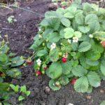 Земляника садовая 3