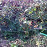 Земляника садовая 5