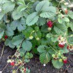Земляника садовая 6