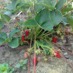 Земляника садовая 7