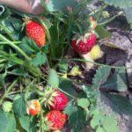 Клубника садовая 7