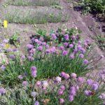 Шнитт — лук: полезные свойства