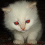 Котёнок белоснежный