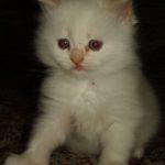 Белый котик 4
