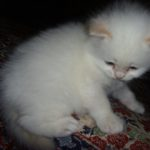 Белый котик 8