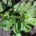 Шпинат — целебное растение