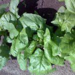 Шпинат - целебное растение 2