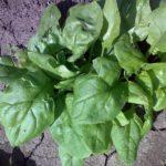 Шпинат - целебное растение 3