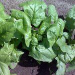 Шпинат - целебное растение 4