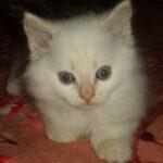 Бусинка, котик породы Невская маскарадная