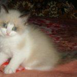 Барби, кошечка породы Невская маскарадная