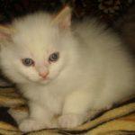 Снежный котик 11