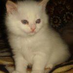 Снежный котик 12