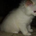 Снежный котик 16