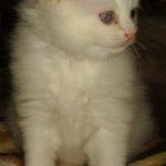 Снежный котик 19