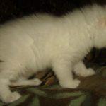 Снежный котик 21