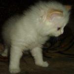 Снежный котик 25