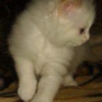 Снежный котик 29