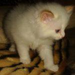 Снежный котик 31