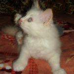 Снежный котик 32
