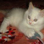Снежный котик 33