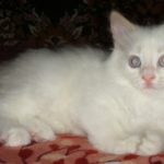 Снежный котик породы Невская маскарадная