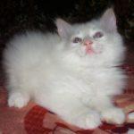 Снежный котик 34