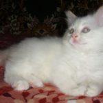 Снежный котик 35