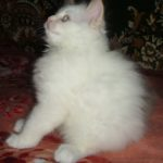 Снежный котик 36