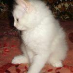 Снежный котик 37