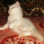 Снежный котик 38