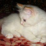 Снежный котик 39