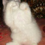 Снежный котик 42