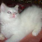 Снежный котик 43