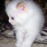 Снежный котик 5