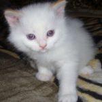Снежный котик 7