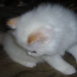 Снежный котик 8