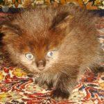 Маврик Чёрый, Сибирский котёнок